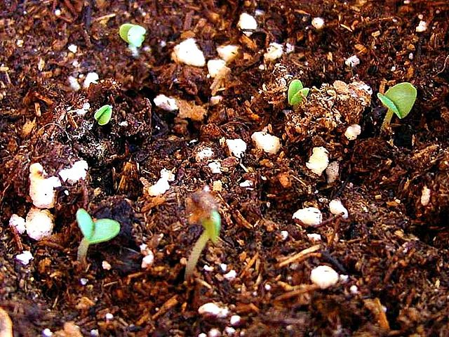 seedlings sprout